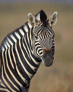 Common zebra (Plains zebra) (Burchell's zebra) (Equus burchelli)…