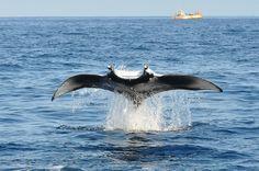 Manta ray flying!