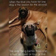 #dogs #mastiffs #englishmastiffs Mastiff_happy