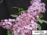 Syringa x hyacinthiflora 'Maiden's Blush'