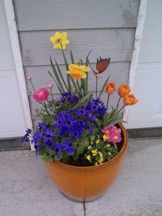 Orange flowering pot: Daffodil, Senetti, Tulips, Viola, PrimRose & Ranunculas
