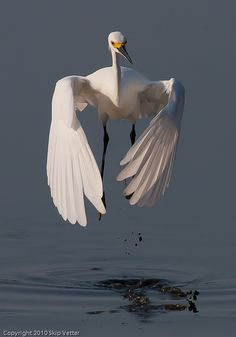 Snowy Egret by Skipbro, via Flickr