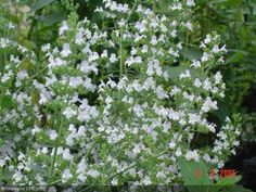 Calamintha nepeta subsp. glandulosa  'White Cloud'