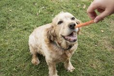 Every dog likes treats, but even a Milk Bone must taste dry after a while. There's a very easy way to make a tasty, homemade treat for your dog th...