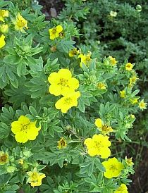 Compact shrubs for easy gardens. Potentilla, Spirea, and other hearty and beautiful varieties described in a handy chart.