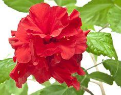 Jak pěstovat pokojový ibišek: zálivka, hnojení, řez a letnění Indoor Plants, Pesto, Rose, Flowers, Gardening, Sun Flowers, Garten, Roses, Lawn And Garden