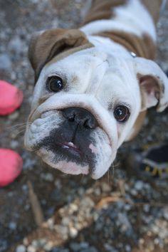 Bulldog puppy face - Hi!