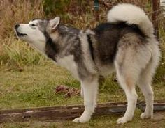 Alaskan Malamute 1 by Lakela on DeviantArt Mans Best Friend, Best Friends, Kindness To Animals, My Husky, Snow Dogs, Alaskan Malamute, Make You Smile, Fur Babies, Pup