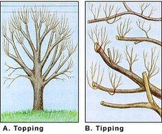 Pruning practices that harm trees Topping/Tipping Tree Pruning, Some Ideas, Outdoor Stuff, Landscape, Garden, Trees, Scenery, Garten, Lawn And Garden