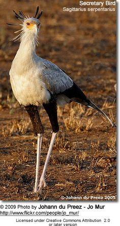 Secretary Bird or Secretarybird Sagittarius serpentarius & Secretarybird/Secretary Bird (Sagittarius serpentarius) - answer ... 25forcollege.com