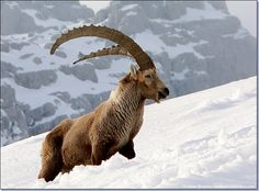 Capra Ibex. Recent studies based on mitochondrial DNA suggest the Siberian ibex and the Nubian ibex represent distinct species, which are not very closely related to the physically similar Alpine ibex. The Alpine ibex forms a group with the Spanish ibex. The West Caucasian tur appears to be more closely related to the wild goat than to the East Caucasian tur.