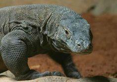 Komodo Dragon ... so cool