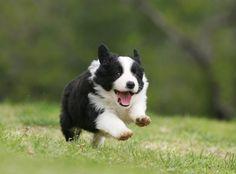 border collies, puppies, anim, pet, happy puppy, working dogs, bordercolli, colli puppi, friend