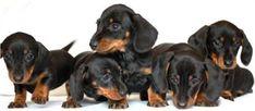 Google Image Result for http://www.dachshunds.org.uk/phdi/p1.nsf/imgpages/3173_dachshundlitter.jpg/%24file/dachshundlitter.jpg