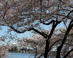 Gorgeous in the #summer but even more gorgeous during Cherry Blossom season! Who's coming to #DC with us this summer?