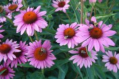 Purple coneflower (Echinacea purpurea) ... Strength and health
