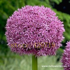 8 colors 100 pcs Giant Allium Giganteum seeds purple Allium organic gorgeous flower for home garden decoration gift for kid Flower seeds