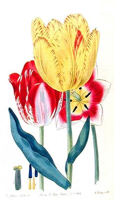 Botanical - Flower - Tulip - Group of tulips Botanical - Flower - Tulip - Group of tulips Tulips. Scan of 2 d images in the public domain believed to be free to use without restriction in the US.