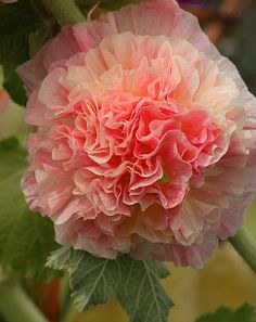 "Alcea rosea 'Double Apricot' ""Double Apricot Hollyhock"""