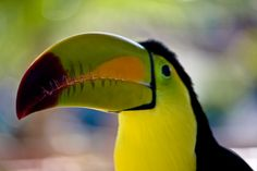 This pretty boy is a keel-billed toucan. They're native to Southern Mexico, Central America, Venezuela and Colombia, and are also known as rainbow-billed toucans for obvious reasons!