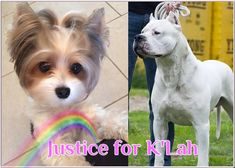 K'lah, a Biewer Yorkie, was killed by a Dogo Argentino and another large dog while under the care of a pet sitter who allowed the small Yorkie to go outside with the large dogs. She was dead in seconds. Never allow your small dog to stay with a pet sitter or boarder who doesn't keep their large and small dogs absolutely separate.