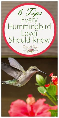 6 Tips Every Hummingbird Lover Should Know Kolibri Hummingbird House, Hummingbird Nectar, Hummingbird Flowers, Hummingbird Feeder Recipe, Flowers That Attract Hummingbirds, How To Attract Birds, Attracting Hummingbirds, Funny Bird, Humming Bird Feeders