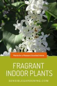 Fragrant indoor plants fill your home with wonderous, natural scents. Say goodbye to toxic sprays & scented candles. 11 of the best fragrant house plants. Shade Garden, Garden Plants, Indoor Plants, Flowering House Plants, Indoor Flowers, Air Plants, Vegetable Garden, House Plants Decor, Plant Decor