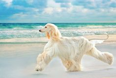 Afghan Hound Dog Breed Information, Popular Pictures Big Dogs, I Love Dogs, Cute Dogs, Dogs And Puppies, Doggies, Afghan Hound, Beautiful Dogs, Animals Beautiful, Hound Dog Breeds