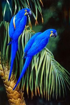 Hyacinths macaws ❤️❤️ (see next image for an interesting fact about them ) ✅