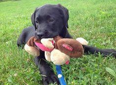 Sugar Bear the Labrador Retriever