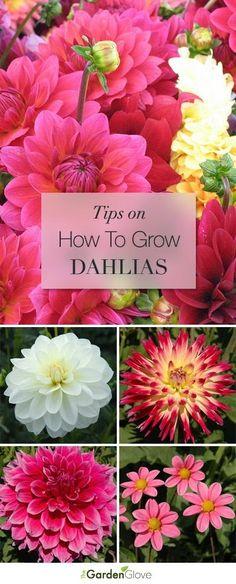 How to Grow Dahlias • Great Tips and Ideas!!!