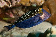 whitedotted boxfish