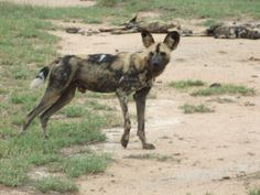 Wilddogs in the Timbavati