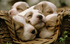 Pick one of our curated puppy wallpaper and make your day and mood beautiful by just looking at them. Little Puppies, Cute Puppies, Dogs And Puppies, Spaniel Puppies, Newborn Puppies, Labrador Puppies, Dogs 101, Small Puppies, Doggies