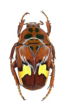 Anisorrhina quadricornis