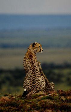 magical nature tour: Mother Cheetah and young surveying the Masi.from Cheetah Conservation Botswana. Big Cats, Cool Cats, Beautiful Cats, Animals Beautiful, Baby Animals, Cute Animals, Power Animal, Cheetahs, Mundo Animal