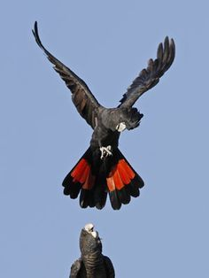 red tailed black cockatoo male flying - Google Search