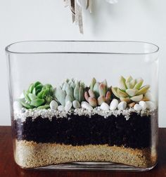 Choose from a squashed oval shaped vase or a stylish cube. Each have 4 succulents arranged in a configuration to fit the space with pumice, rocks,. Auckland, Succulents, Terrarium Ideas, Courier Service, Pumice, Vase, Shapes, Contemporary, Plants