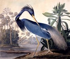 John James Audubon Louisiana Heron Engraving