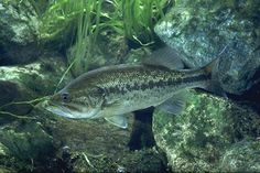 The Largemouth Bass is one of Virginias largest fishes, and probably the most popular sport fish.  And it is one of BC's most invasive animal species.