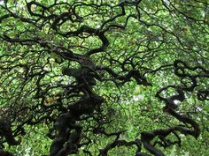 Dwarf beech trees, rife with legends and theories.