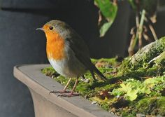 European Robin photo by Steve Greaves.