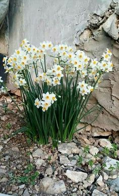 Rock Flowers, Spring Flowers, White Flowers, Beautiful Flowers, Daffodils, Tulips, Spring Bulbs, Arte Floral, Outdoor Plants