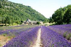 Aix-en-Provence, Francia: Provence Lavender