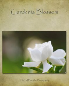 Gardenia Flower Photography Nature Photography by RCMPhotography1, $33.95