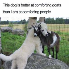 This dog is better at comforting goats than I am at comforting people.