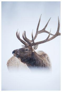 Elk in Yellowstone National Park by Edwin Kats #wildandfree