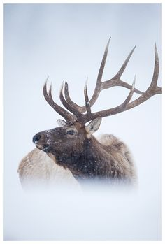 Elk in Yellowstone National Park by Edwin Kats #wildandfree