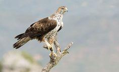 Bonnelli's Eagle