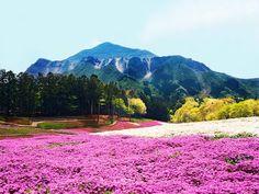 Hitsujiyama Park, Japan Pink moss lines the base of Mount Fuji, creating a surreal contrast with surrounding trees. Saitama Japan, Saitama Prefecture, Mountain Wallpaper, Mount Fuji, Tip Of The Day, Mount Rainier, Beautiful Pictures, Tours, Mountains